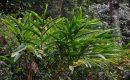 Tepus Jahe Tanaman Survival Yang Bisa Dimakan Di Hutan