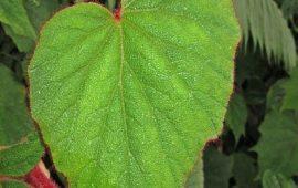 Hariang Bulu Begonia Tanman Survival Yang Bisa Dimakan Dihutan